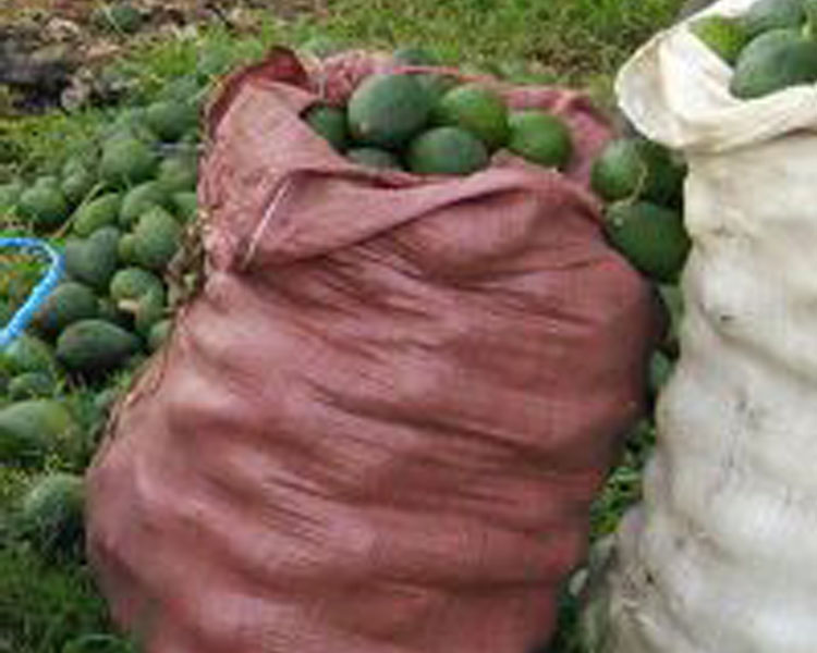 Freshly harvested avocados grown in Ethiopia using GreenPath Foods support system.