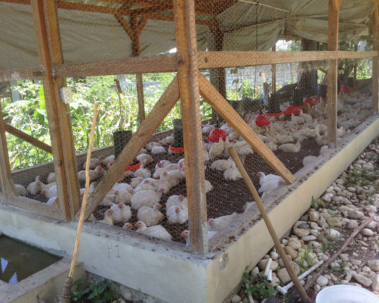 Visiting the chicken coop that generates income to support the Nicolas School in Haiti